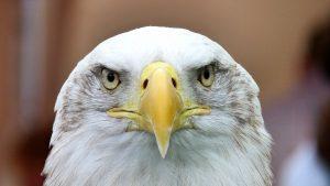 white-tailed-eagle-416795